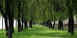 故乡的杨柳树